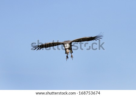 African White-backed Vulture on blue sky