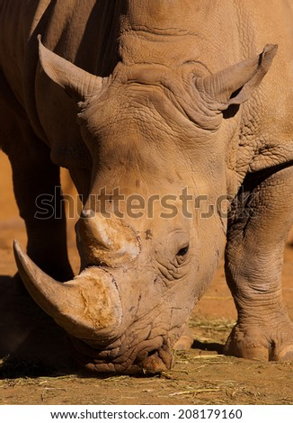 African white rhino - stock photo