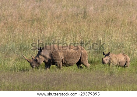 African White Rhino and calf walking through the grass  in Pilanesberg nature reserve - stock photo