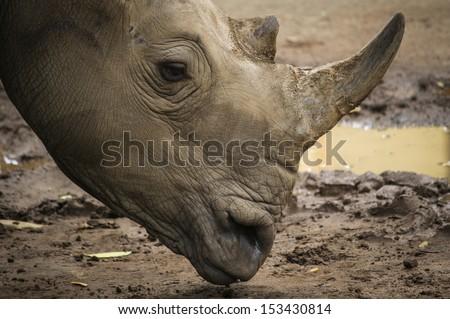 African White Rhino in park - stock photo