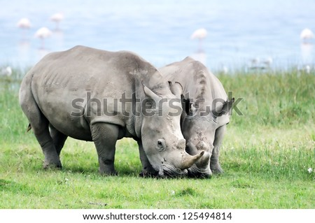 African White Rhino, Lake Nakuru, Kenya - stock photo