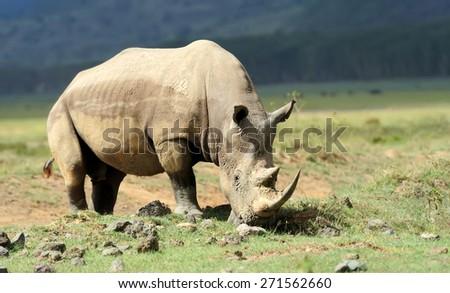 African White Rhino, Lake Nakuru, Kenya - stock photo