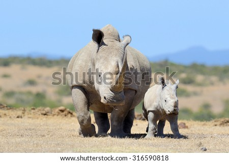 African white rhino, National park of Kenya - stock photo