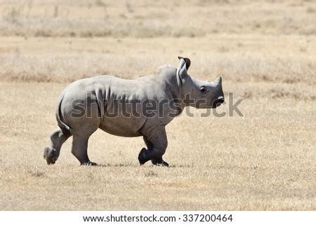 African white rhino, National park of Kenya, Africa - stock photo