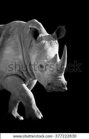 African white rhino on dark background. Black and white image - stock photo