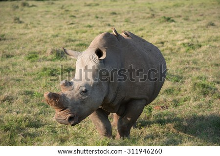 African white Rhinoceros - stock photo
