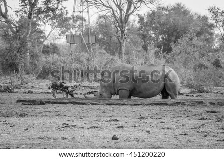 African wild dog drinking next to a White rhino in black and white in the Kruger National Park, South Africa. - stock photo