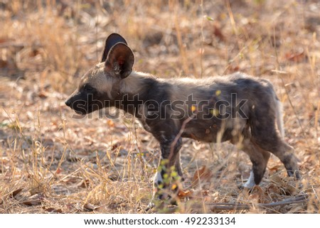 african wild dog endangered mammal kruger national park south africa
