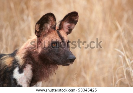 African Wild Dog (Lycaon pictus), highly endangered species of Africa