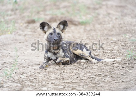 AFRICAN WILD DOG  (Lycaon pictus) resting in a dry riverbed. Zimanga Game Reserve, Zululand, South Africa . Highly endangered.     - stock photo
