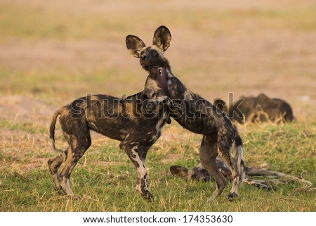 African Wild Dog puppies (Lycaon pictus) at play - stock photo