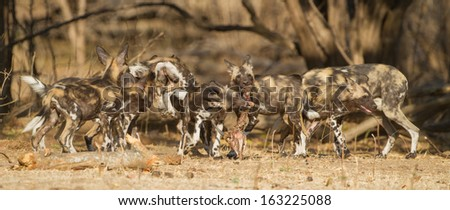 African Wild Dog puppies (Lycaon pictus) playing with Impala skull - stock photo