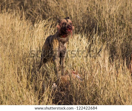 African wild dog stands triumphantly over a kill - stock photo