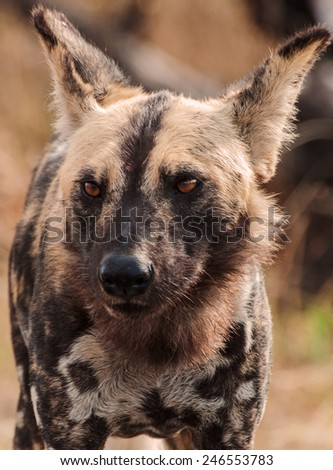 African wild dogs (Lycaon pictus) ~ South Africa