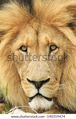 African wild lion - stock photo