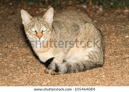 African Wildcat (Felis silvestris lybica) - stock photo