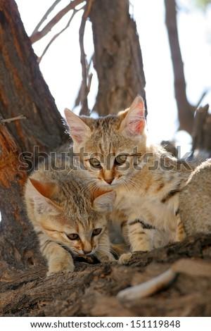 African wildcat kittens in tree - stock photo