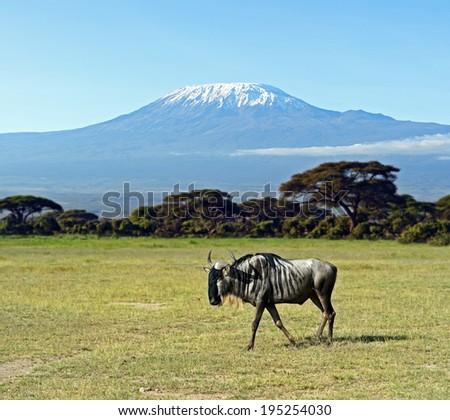 African Wildebeest in Amboseli National Park . Kenya - stock photo