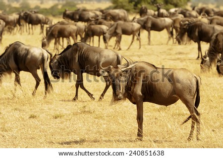 African Wildebeests (Connochaetes taurinus) on the Masai Mara National Reserve safari in southwestern Kenya. - stock photo