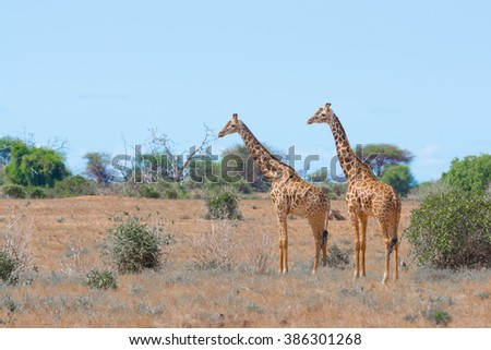 African Wildlife at its Best - Giraffe
