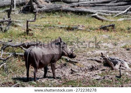 African Wildlife Warthog, National Park Moremi, Okawango, Botswana, wildlife photography - stock photo