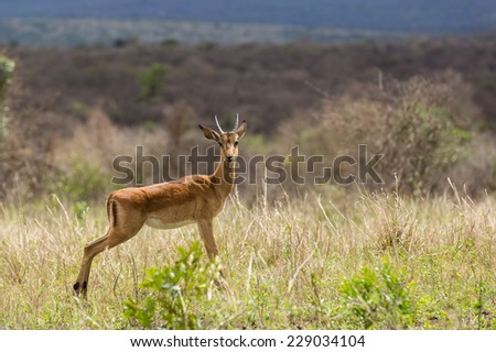 african young male impala in the bush - stock photo