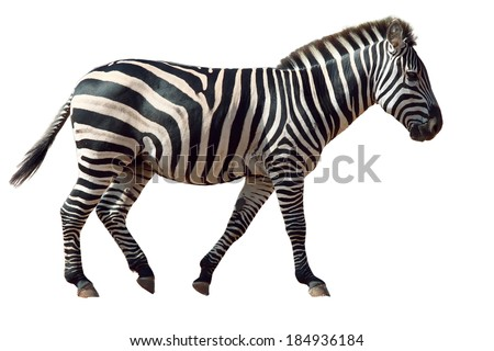 African zebra isolated on white - stock photo