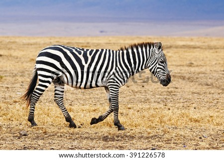 African Zebra Walking / An African zebra walking on the savannah