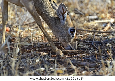 Afrikanskfy Dik-dik wild goat in its natural habitat  - stock photo