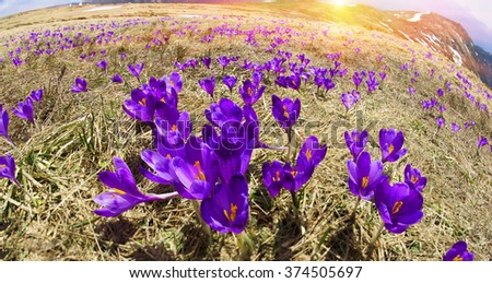 After a cold winter in the Carpathians snow melts and there are fabulous fantastic flowers - crocuses crocuses, their bells to the sun. Against the backdrop of high peaks is very beautiful