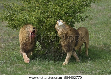 After fighting. Two lions with blood-stained muzzle relaxing under a bush in safari park