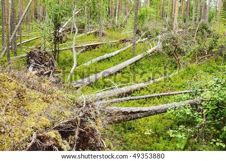 after hurricane in wild  pine forest - fall down trees