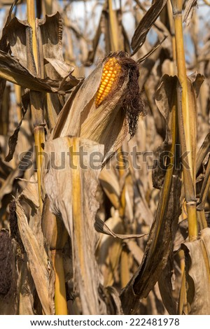 After the harvest in the mountains of western North Carolina is over the corn fields are used for decoration and a puzzling corn mazes. - stock photo