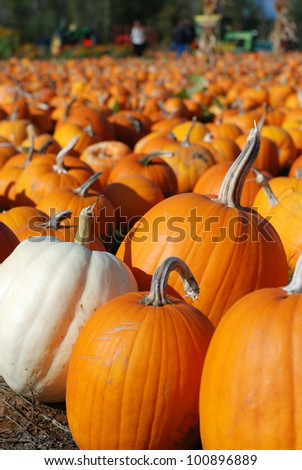 Afternoon light on a Pumpkin Patch in Oregon with Many Pumpkins Waiting to be Picked to be Carved, baked into a Pie, or Pureed for Soup.   Background blurred for copy or text.