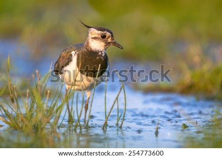 Afternoon shot of a Female Northern lapwing (Vanellus vanellus) wading in shallow blue water in between green grass and looking in the camera - stock photo