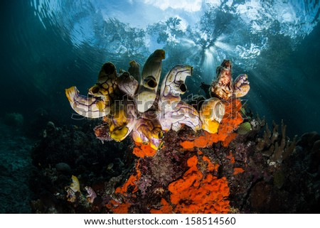 Afternoon sunlight filters through a mangrove canopy and falls on a cluster of tunicates growing on a reef slope in Raja Ampat, Indonesia. - stock photo