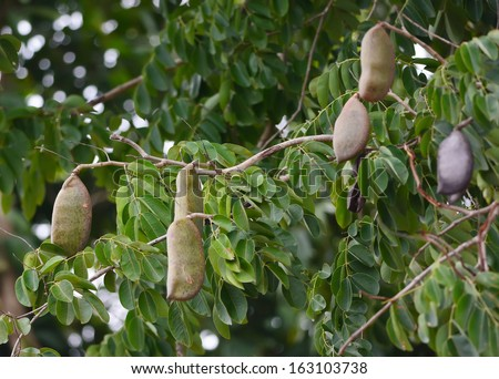 http://thumb1.shutterstock.com/display_pic_with_logo/1341193/163103738/stock-photo-afzelia-xylocarpa-pod-and-leaves-163103738.jpg