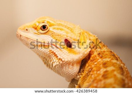 agama - stock photo