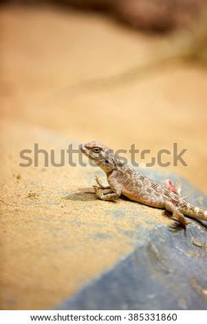 Agama (lizard) - stock photo