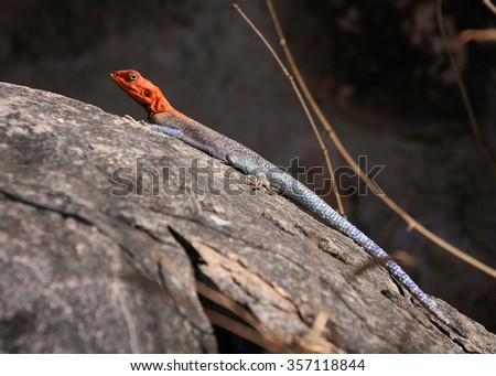 Agama Lizard Basking Side View Tanzania East Africa - stock photo