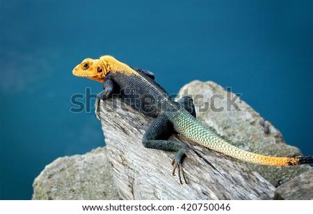 Agama Lizard Blue Water Background Amazing Stock Photo ... - photo#25