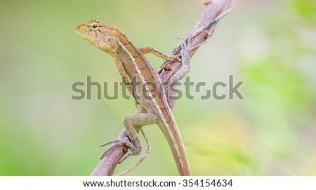 Agama stellio, Agama lehmani, Cyprus - stock photo