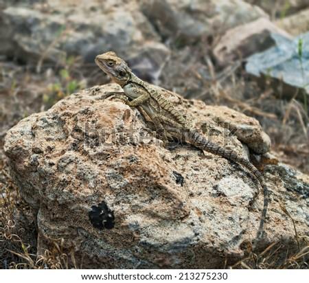 agama stellio lizard lying on rock in Akamas National park, Cyprus - stock photo