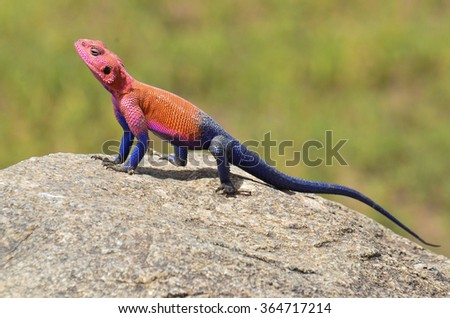 Agama Tanzania - stock photo