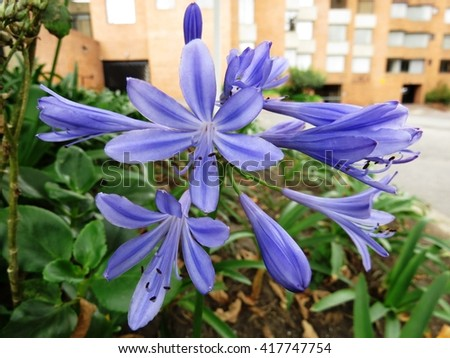 Agapanthus blooming blue summer flower in city street - stock photo
