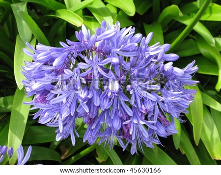 Agapanthus Flower - stock photo