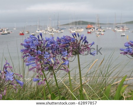 Agapanthus in the foreground with boats in a harbour in the background - stock photo