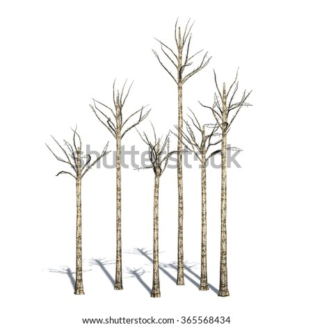Agarwood trees in the winter - isolated on white background