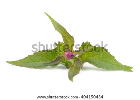 Agastache (Anise Hyssop) Blue Fortune Isolated on White Background - stock photo