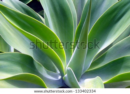 agave - stock photo